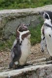 Пингвин Гумбольдта - humboldti spheniscus Стоковое Изображение RF