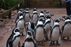 Пингвин Гумбольдта - humboldti spheniscus Стоковые Изображения