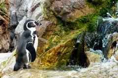 Пингвин Гумбольдта (humboldti spheniscus) Стоковые Изображения RF