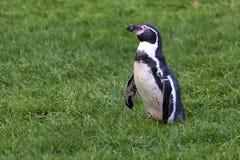 Пингвин Гумбольдта (humboldti spheniscus) Стоковая Фотография
