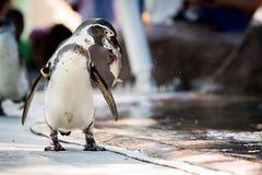 Пингвин ест рыб Стоковое Изображение