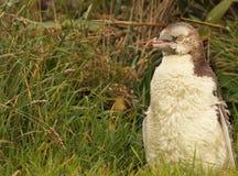Пингвин Желт-наблюданный юношей Стоковое фото RF