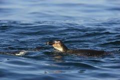 Пингвин заплывания Стоковая Фотография