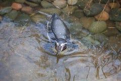 пингвин заплывания Стоковое Изображение RF
