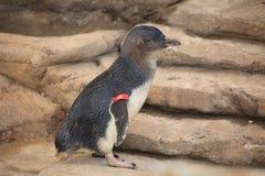 пингвин золота свободного полета Австралии маленький Стоковые Изображения RF