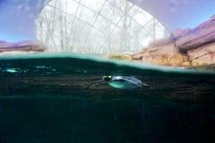 Пингвин - зоопарк Берлина Стоковая Фотография RF