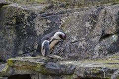Пингвин идя на камни стоковые изображения