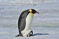 Пингвин императора с цыпленоком Стоковая Фотография