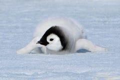 пингвин императора Стоковые Изображения RF