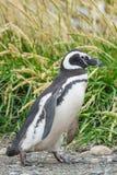Пингвин идя в природу Стоковое Фото