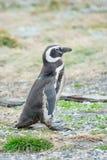 Пингвин идя на поле Стоковое Фото