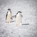 Пингвин идя на снег Стоковое Изображение RF