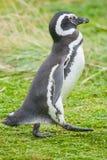 Пингвин идя на луг Стоковое Фото