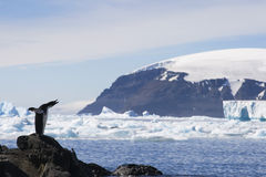 пингвин коричневого цвета блефа Антарктики adelie стоковая фотография rf