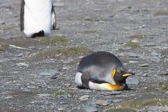 Пингвин короля кладя вниз в солнечность, Антарктику Стоковое фото RF