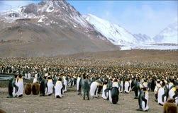 пингвин короля колонии стоковое изображение rf