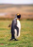 пингвин короля Стоковые Изображения RF