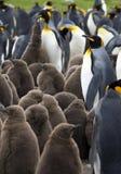 пингвин короля Falkland Islands колонии Стоковая Фотография RF
