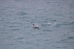 Пингвин короля заплывания Стоковая Фотография RF