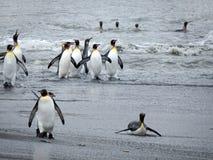 Пингвин короля на пляже, Южной Георгие Стоковые Фото