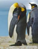 Пингвин короля спать Стоковое фото RF