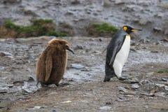 Пингвин короля с сварливым цыпленоком, Южной Георгией Стоковая Фотография