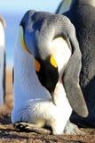 Пингвин короля с яичком между ногами, patagonicus aptenodytes, Saunders, Фолклендскими островами Стоковые Фотографии RF