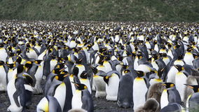 пингвин короля видеоматериал