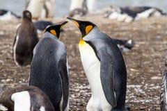 пингвин короля Стоковые Фото