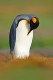 Пингвин короля, patagonicus Aptenodytes сидя в траве и очищает Стоковое фото RF