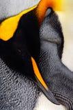 Пингвин короля, patagonicus Aptenodytes Чистка детали пингвина пер детализирует портрет птицы моря Пингвин с чернотой и yel Стоковые Изображения