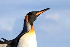Пингвин короля, patagonicus aptenodytes, Saunders, Фолклендские острова Стоковое Изображение