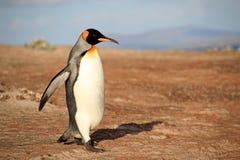 Пингвин короля, patagonicus aptenodytes, Saunders, Фолклендские острова Стоковое фото RF