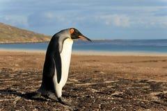 Пингвин короля, patagonicus aptenodytes, Saunders, Фолклендские острова Стоковое Фото