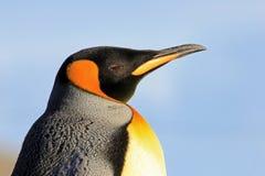 Пингвин короля, patagonicus aptenodytes, Saunders, Фолклендские острова Стоковые Фотографии RF
