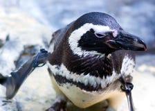 пингвин малый Стоковое Фото