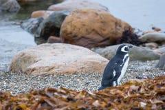 Пингвин на береге камешка Стоковые Фотографии RF