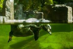 Пингвин на зоопарке Стоковое Изображение RF