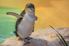 Пингвин на острове пингвина Стоковая Фотография RF