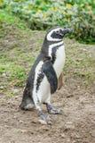 Пингвин на поле Стоковое Фото