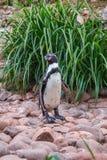 Пингвин на утесах Стоковая Фотография
