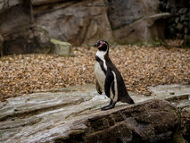 Пингвин на утесе Стоковые Фото