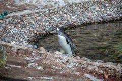 Пингвин приземлялся Стоковые Изображения