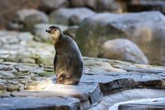 Пингвин сидя на камнях стоковое изображение