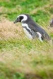 Пингвин стоя в природе Стоковые Изображения