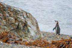 Пингвин стоя на береге камешка Стоковая Фотография