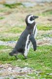Пингвин стоя на поле Стоковое Изображение RF