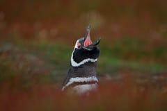 Пингвин с открытым счетом Птица в траве Пингвин в красной траве вечера, пингвин Magellanic, magellanicus spheniscus Черное wh Стоковое фото RF