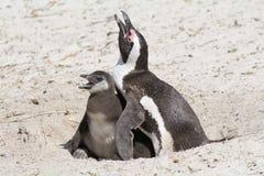 Пингвин с цыпленком в песке стоковое фото