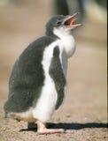 пингвин цыпленка Стоковое Фото